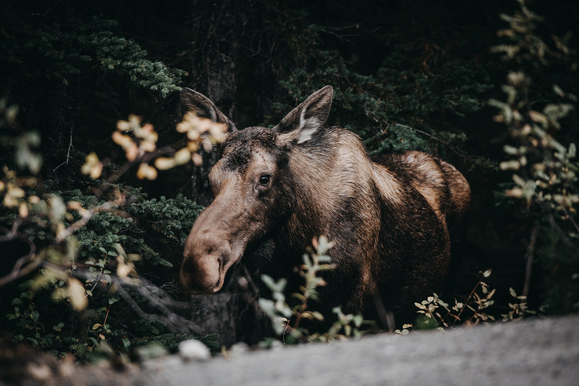moose in the forest on the way to moraine lake elopement